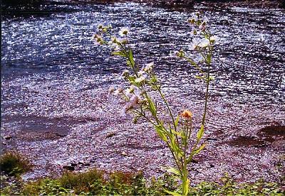 かがみ川と花