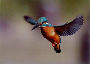 羽ばたく水辺の宝石
