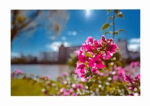 異常気象?冬(12月)に咲くブーゲンビレア