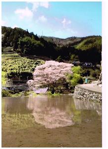 鏡,坂口地区の桜