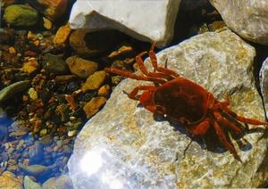 甲殻類 沢蟹